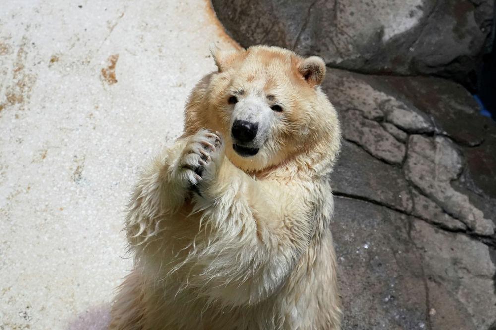 Белый медведь в зоопарке города Ухань, Китай