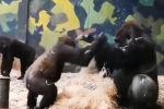 Посетители зоопарка стали свидетелями забавного зрелища: маленькая горилла хотела поиграть с большой, но та была против.