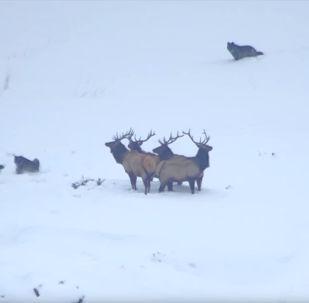Посетители Йеллоустонского заповедника в США стали свидетелями того, как олени с легкостью отбились от напавших волков.