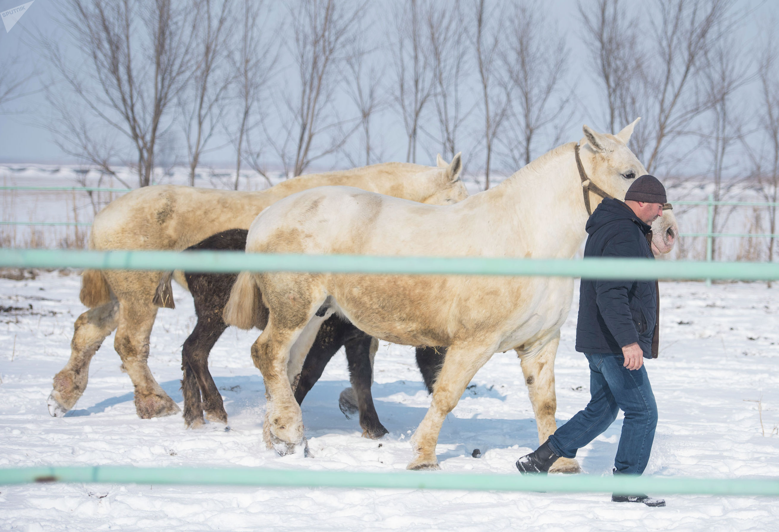 Заводчик лошадей Исмаил Адаев на ферме по разведению лошадей породы першерон в селе Новопокровка