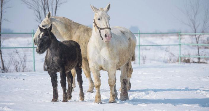 Недалеко от Бишкека разводят породистых лошадей — першеронов. Взрослая особь весит около тонны и достигает 180-190 сантиметров. Как выращивают этих тяжеловесов, узнала корреспондент Sputnik Кыргызстан Гульдана Талантбекова.