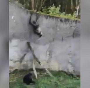 В зоопарке Белфаста в Северной Ирландии сбежали несколько шимпанзе, используя в качестве лестницы ветку, которую они отломили от дерева.