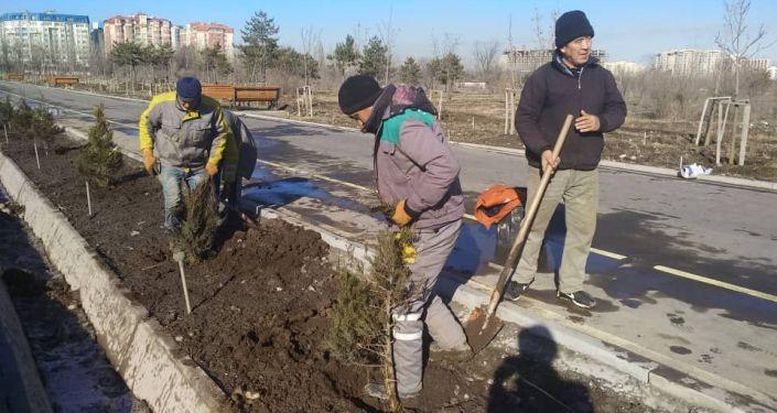 Сотрудники МП Бишкекзеленхоз во время посадки посадки хвойных пород молодых деревьев в Бишкеке