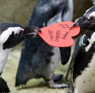 Африканские пингвины с валентинкой в Калифорнийской академии наук в Сан-Франциско.