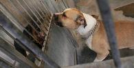 Собака породы Стаффордширский терьер. Архивное фото