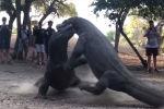 Салмагы 80 килограммга жеткен эчкемерлер арткы буттарына тура калып күрөшө башташкан. Ага туристтер күбө болгону айтылууда.