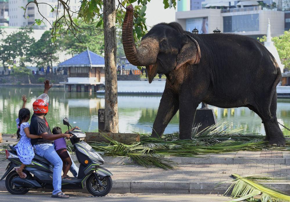 Люди здороваются со слоном в преддверии фестиваля Перахера в Коломбо (Шри-Ланка)