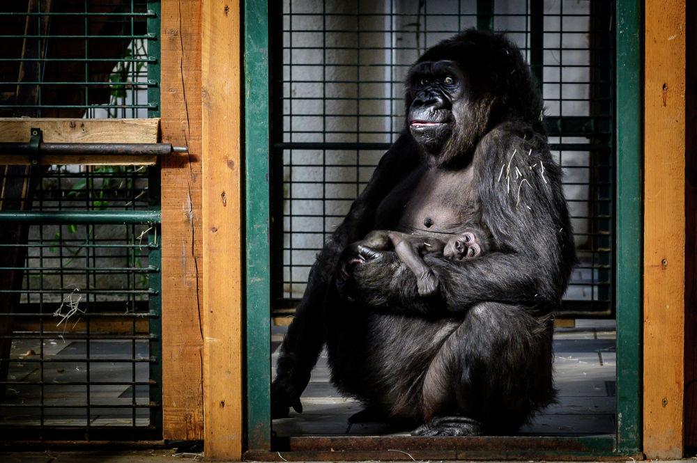 Горилла с детенышем в одном из зоопарков Франции