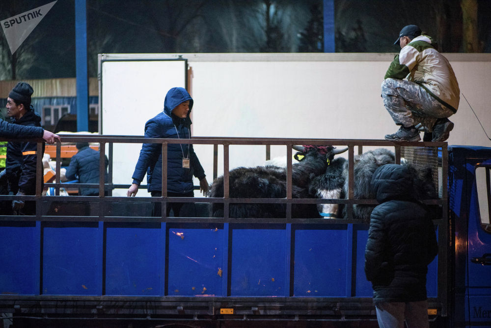 Нурмухаммед Эшматов отправил в Саудовскую Аравию 14 яков, выращенных в Нарыне. Полтора месяца с ними занимался дрессировщик.