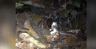 Паук подстерегает жертву, сидя в норке или свободно перемещаясь по поверхности. Нападая, парализует или убивает ядом.