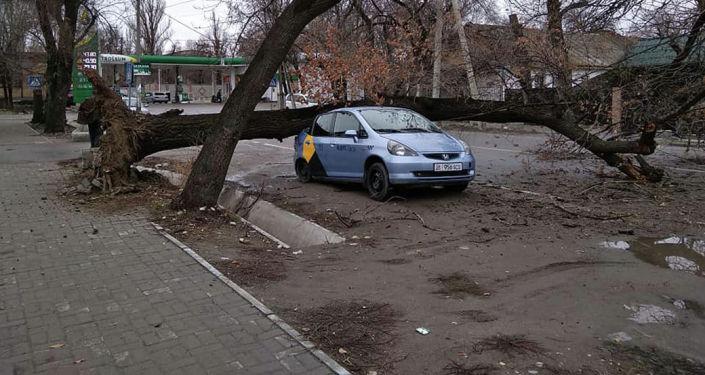 Бишкектин Бөкөнбаев жана Турусбеков көчөлөрүнүн кесилишинде бак кулап астында турган Honda Fit унаасын басып калды