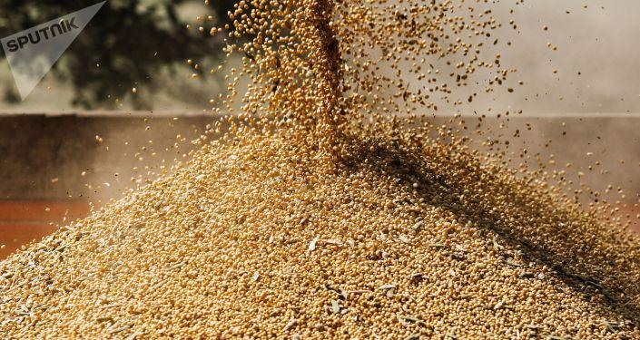 Урожай сои с полей. Архивное фото