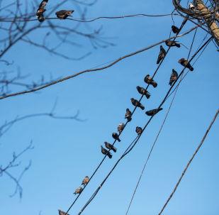Голуби на электрических проводах. Архивное фото