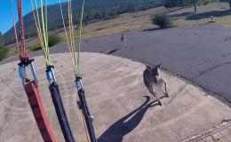 Недалеко от столицы Австралии, Канберры, парапланерист попал в курьезную ситуацию: в момент приземления его атаковал кенгуру.