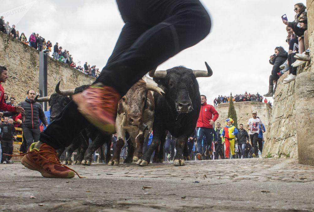 Люди бегут вместе с быками по улицам во время Карнавала дель Торо в испанском городе Сьюдад-Родриго