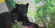 Черный ягуар. Архивное фото