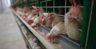 Курицы. Архивное фото