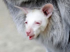 Новорожденный кенгуру-альбинос в зоопарке чешского Дечина
