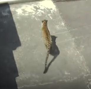 Хищник семь часов бегал по городу, прежде чем его удалось схватить.