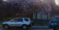 Цветущее дерево на одном из улиц Бишкека