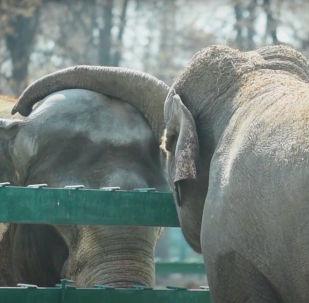 Влюбленные слоны радуют посетителей алматинского зоопарка