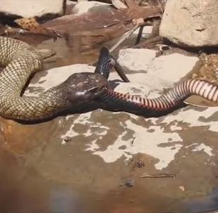 Жительница австралийского города Балландена Дженни Хиллман стала свидетельницей смертельной схватки двух змей.