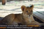 В Алматы в зоопарке вылечили львенка, которого месяц назад отобрали у мужчины, не имевшего документов на животное.