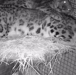 Снежных барсов поместили в один вольер в надежде, что они создадут потомство. Пока кошки уживаются.