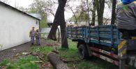 В Бишкеке из-за непогоды упали три деревья за день