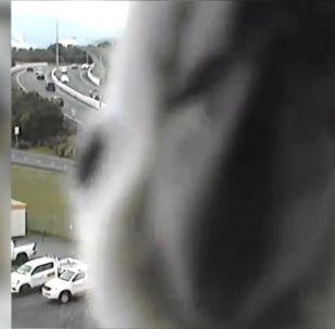 Жол эрежесин көзөмөлдөгөн камерага таңыркап, аны улам-улам тиктеген тоту куш Квинсленд штатынын Транспорт департаментинин көңүлүн бурду.