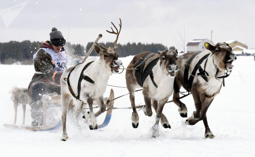 Участник гонки на оленьих упряжках на праздновании Дня оленевода в Надыме