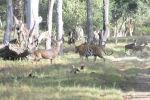Крупный тигр прогуливался среди оленей, не думая на них нападать.