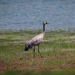 Серый журавль (турна) часто встречается во время весенних и осенних миграций. Населяет тростниковые заросли озер, заливных лугов, кочковатых болот.