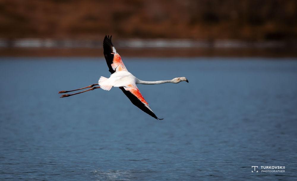Обыкновенный фламинго (кызыл канат) в Кыргызстане встречается на зимовке в Иссык-Кульской области. Кормится в труднодоступных местах на мелководье с илистым дном.