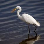 Белая цапля (чоң ак кытан) обитает в заболоченных низинах, поймах и на берегах рек, пресных и соляных озер