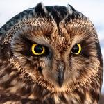 Болотная сова (саз үкүсү) населяет открытые ландшафты, равнинные или холмистые степи с редким кустарником, речные луга, паровые земли, а также (редко) окраины приречных лесов