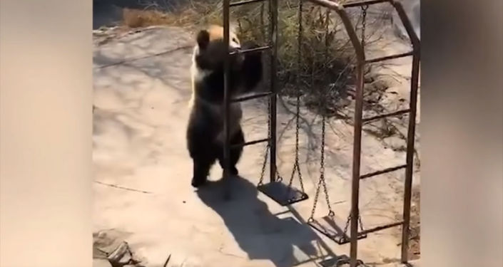 Всего за день ролик с танцем медведицы набрал в Сети более миллиона просмотров и свыше 60 тысяч комментариев.