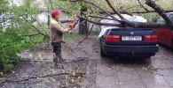 Бригада МП Бишкекзеленхоз  убирает дерево, которая упала на машину
