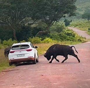Түштүк Африканын Хлухлуве-Имфолози коругунда машинада бараткан турист буйволдун чабуулуна кабылды.
