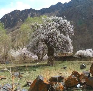 Одно из старейших деревьев Кыргызстана растет среди гор в труднодоступной местности Баткена — в Зардалы. Местные жители утверждают, что этому абрикосовому дереву больше 600 лет. Ствол в обхвате достигает четырех с небольшим метров, а высота — минимум пять метров.
