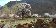Кыргызстандагы эң кары дарактардын бири Баткен облусундагы айтылуу Зардалы айылында тоо койнунда өсөт. Жергиликтүү тургундардын айтымында, өрүк багына 600 жыл болуптур. Узундугу жети метрге жеткен дарак 4-5 кишинин кучагына араң батат.