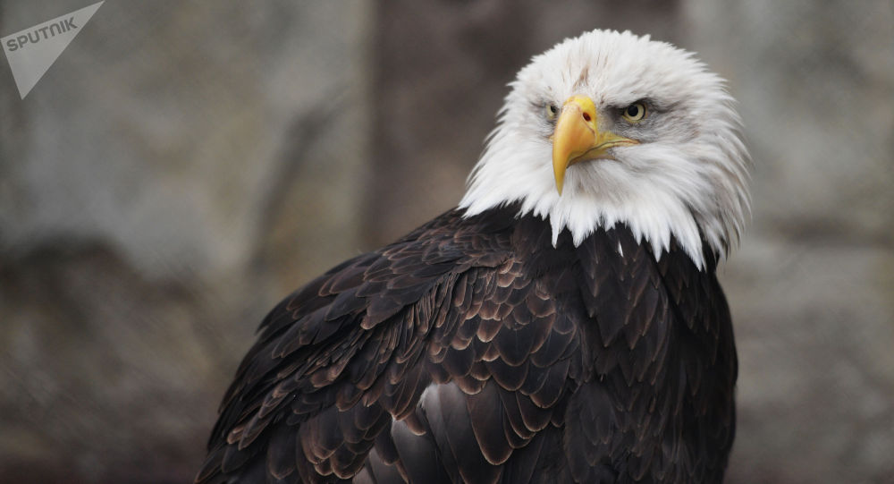 Белоголовый орлан. Архивное фото