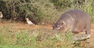 Видео сняли недалеко от Национального парка Крюгера в Южно-Африканской Республике.