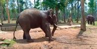 Очевидцы сняли, как прикованный к дереву слон пытался освободиться, а затем рухнул на землю.