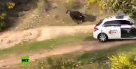 В Мадриде (Испания) полицейским пришлось стать мишенью для разъяренного быка, сбежавшего с фермы недалеко от города.