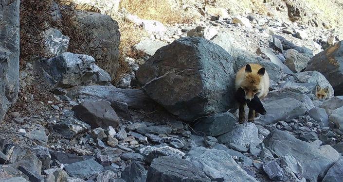Лиса попала на фотоловушку в Государственном природном парке Хан-Тенири