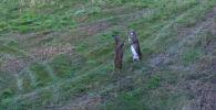 В Канаде турист стал случайным свидетелем ожесточенной драки двух оленей, когда снимал на камеру пейзаж.