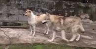 В Китае посетители зоопарка стали свидетелями редкого явления — дружбы хищного волка с домашним питомцем.