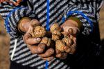 Урожай грецких орехов. Архивное фото