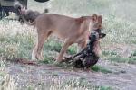 Посетители национального парка Хванге в Зимбабве стали свидетелями редкого зрелища: пойманная львицей гиеновидная собака спаслась, проявив смекалку.